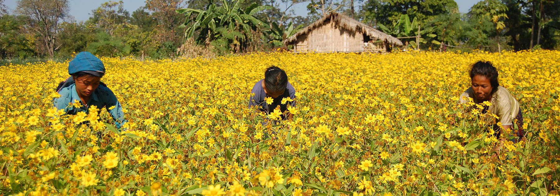 Chakma women work in a sunflower field in Diyun. (PARTHAJIT DATTA/AFP/Getty Images)
