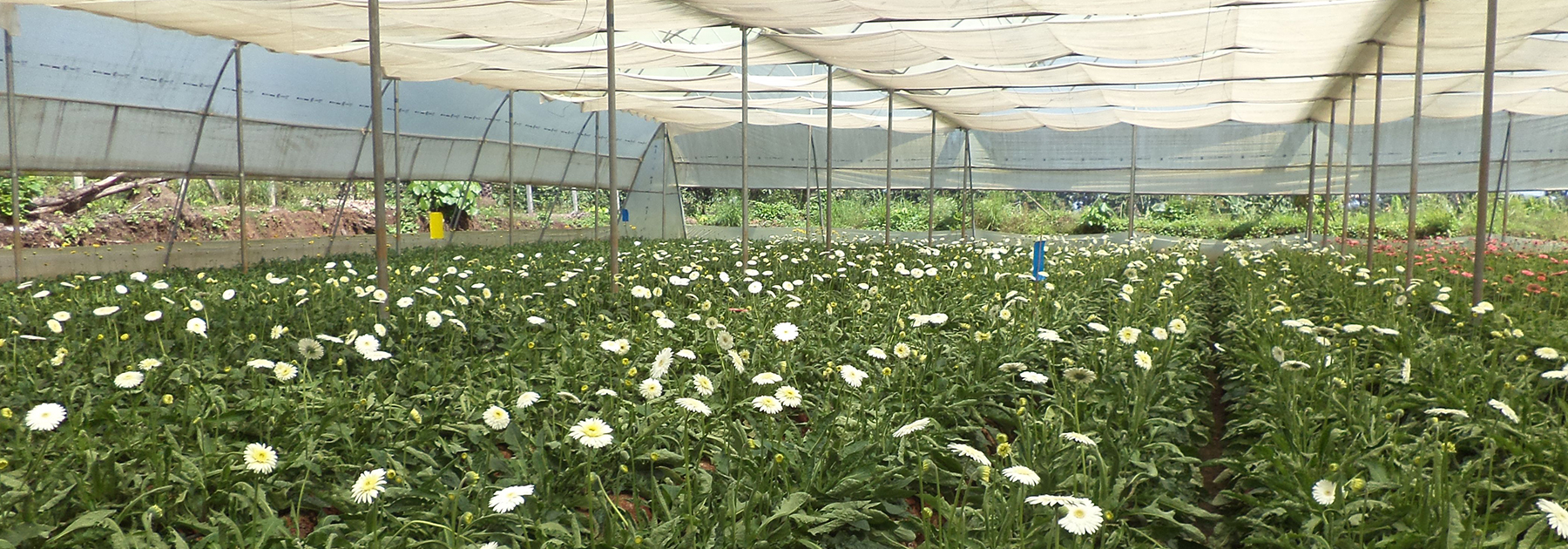 Gerbera Cultivation-in Poly-house, Dr. Rajendra Prasad Central Agriculture University. (Neerajk.bit, licensed under CC BY-SA 4.0)