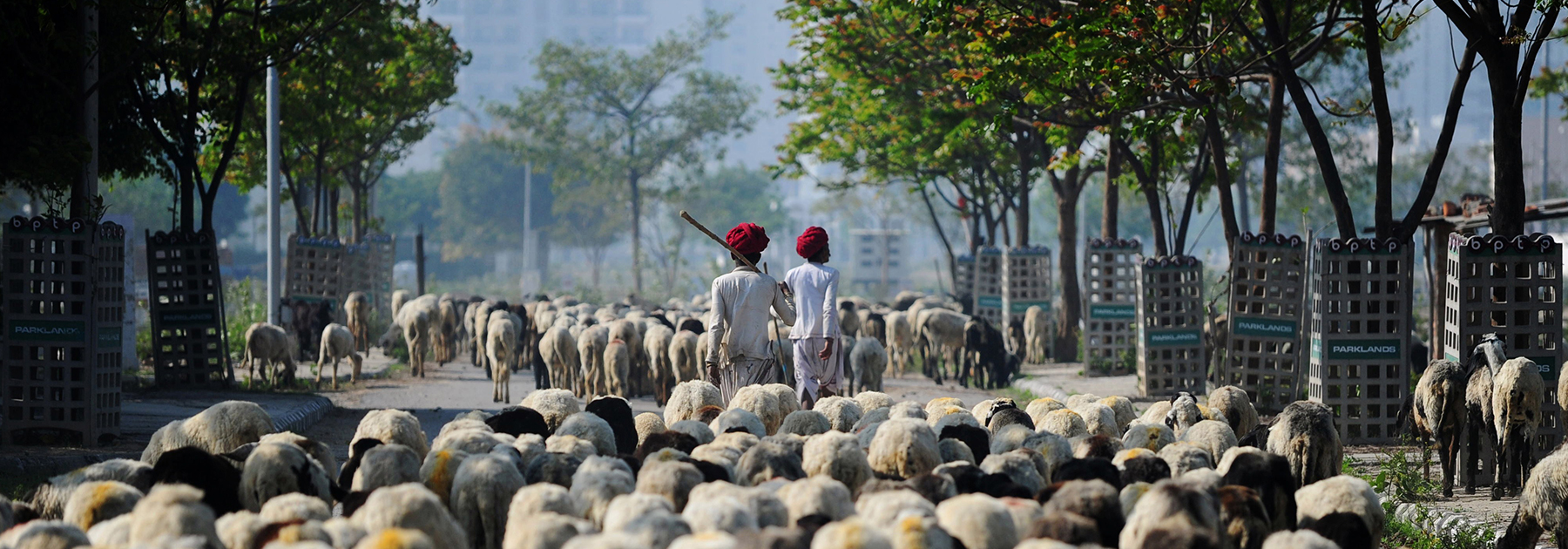 Nomadic shepherds lead their sheep along a road on the outskirts of Faridabad. (MONEY SHARMA/AFP/Getty Images)