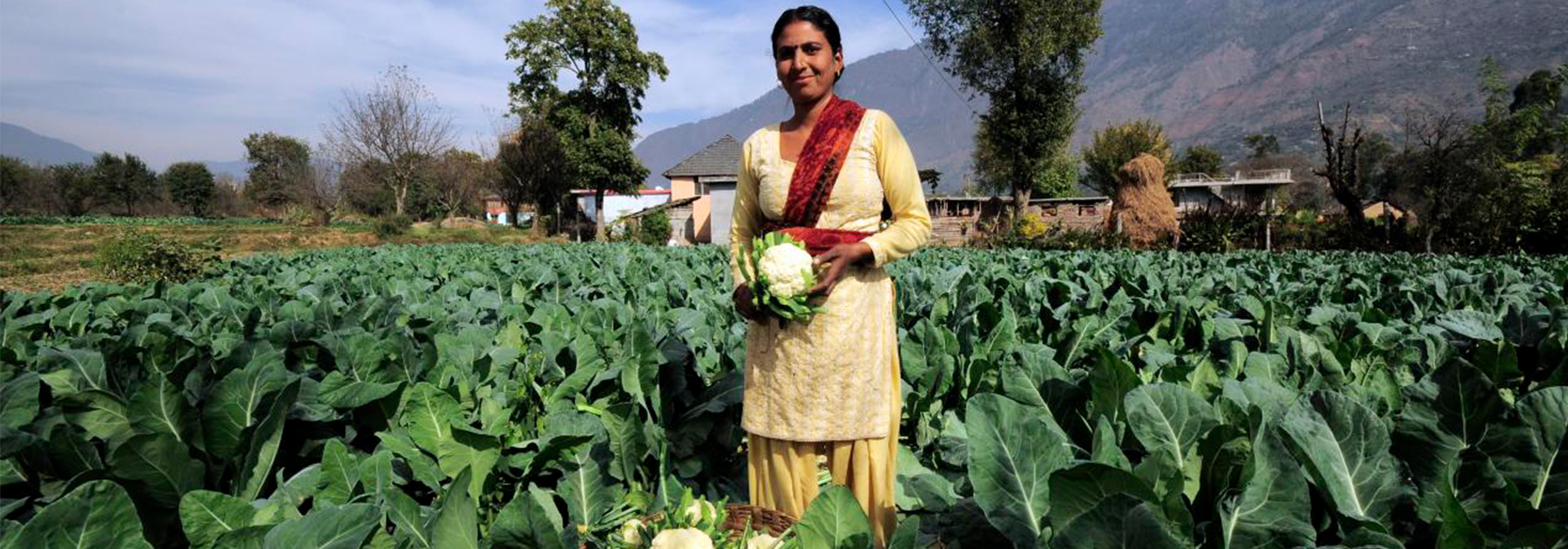 A farmer harvests this season's cauliflower crop near Kullu town. (Neil Palmer (CIAT), licensed under CC BY-SA 2.0)