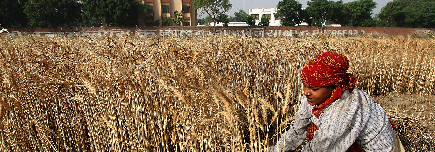 A farmer harvests a crop of wheat in a field in Ghaziabad. (PRAKASH SINGH/AFP/Getty Images)